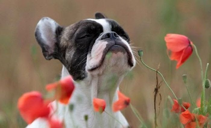 dog cheirando flores